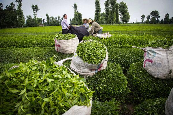 ممنوعیت صادرات، بازارهای چای کشور را به باد میدهد