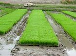 خزانه گیری برنج در کامفیروز آغاز شد