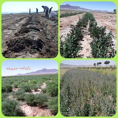 توسعه کشت زراعی گیاهان دارویی در سربیشه