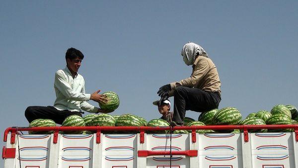 برداشت هندوانه از شهرستان هلیلان آغاز شد
