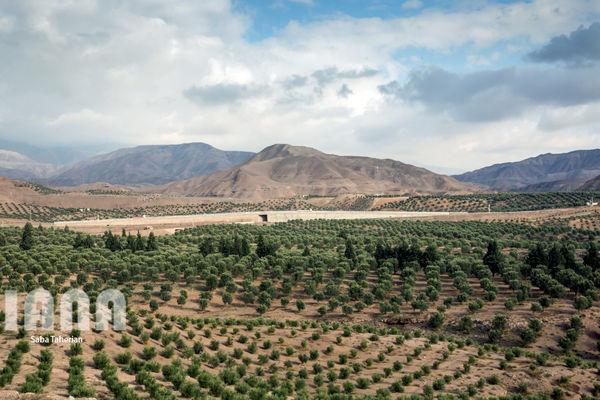 تولید 90 هزار تنی زیتون در سال 97
