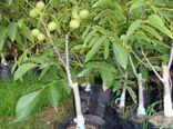 خراسان شمالی دومین استان در شرق کشور است که تولید نهال گردوی پیوندی دارد