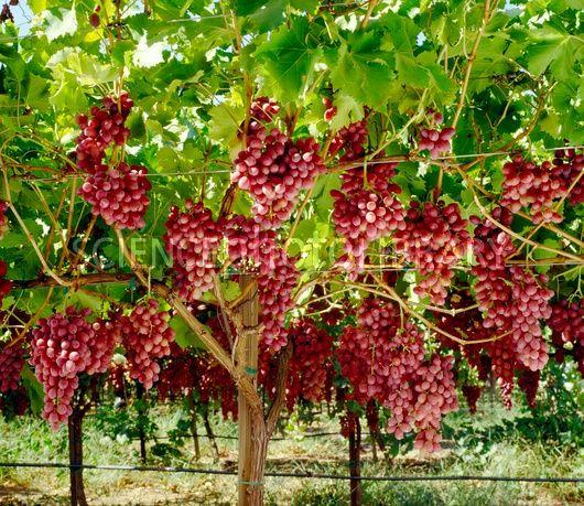 برداشت بیش از 200  هزار تن انگور از باغات استان