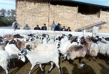 تولید 348هزار تن شیرخام در سال 98