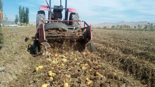 برداشت سیب زمینی از مزارع کشاورزی شهرستان آوج آغاز شد