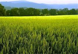 260 هزار هکتار گندم آبی و دیم به ریز کشت رفت