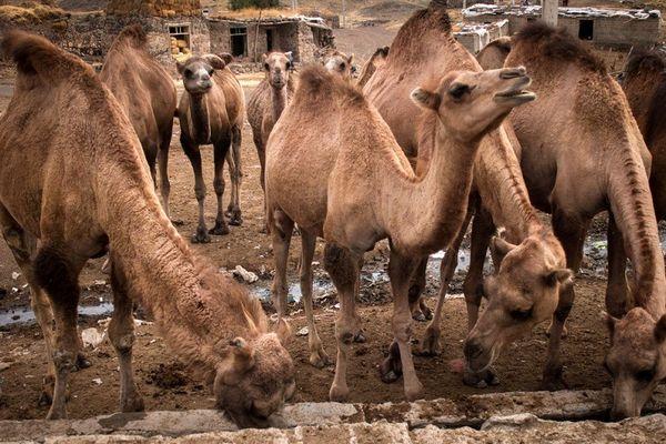 پرورش 385 نفر شتر در آذربایجان غربی