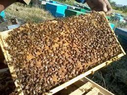 برداشت بیش از 50 تن عسل در سیستان و بلوچستان