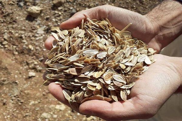 یک هزار هکتار زمین در سمیرم به کشت گیاهان دارویی اختصاص یافت