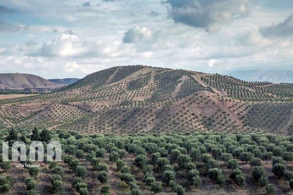 طرح توسعه باغات دیم در کردستان با جدیت دنبال میشود