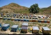 بیش از 59 هزار کلنی زنبورعسل در استان سمنان وجود دارد