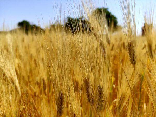 آغاز برداشت جو از سطح ۹۰۰ هکتار از اراضی کشاورزی شهرستان فارسان