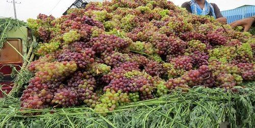 برداشت انگور از تاکستان های فیروزآباد آغاز شد