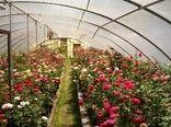 افزایش تولید بالغ بر 3هزار تن پسته در باغات کرمان