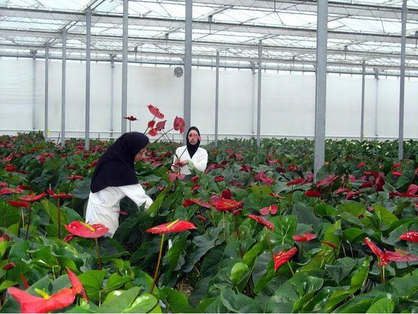 صدور 31 مجوز گلخانه در محمودآباد