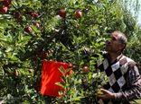 باغدران آذربایجان غربی در امر برداشت محصول سیب درختی تسریع کنند