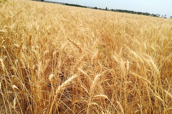 ۴۵ درصد از نیاز کشاورزان زنجانی به بذرهای اصلاح شده در استان تولید میشود