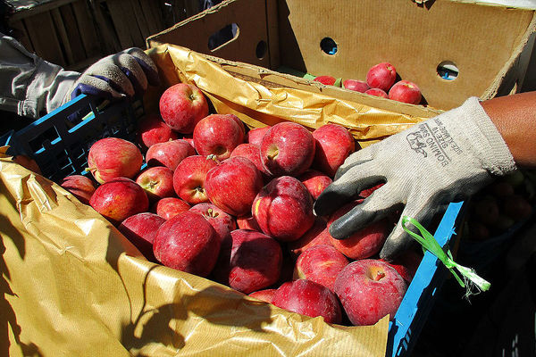صدور مازاد تولید سیب کشور به هند و روسیه