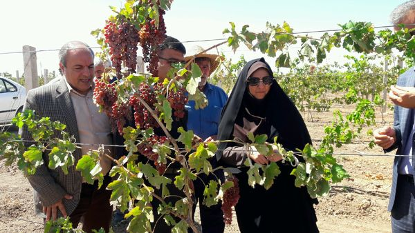 5200هکتار باغ انگور در استان قزوین داربستی شد
