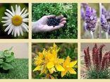 کشت پایلوت 16 گونه گیاه دارویی در شهرستان بوشهر