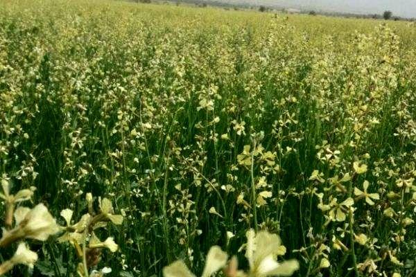 گیاه منداب جایگزین مناسبی برای کودهای شیمیایی