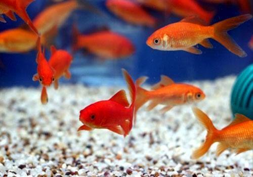 ماهی قرمز سفره عید از چین وارد نمیشود