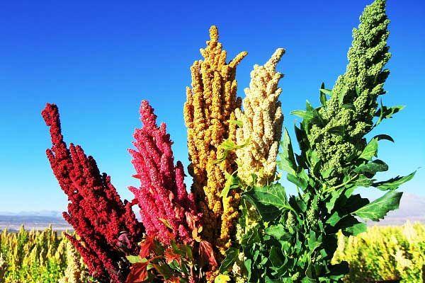 7800 هکتار سطح زیر کشت گیاهان دارویی در استان کرمان