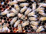 برداشت بیش از 500 تن عسل در رابر