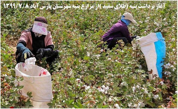 آغاز برداشت پنبه در  بیش از 11 هزار هکتار  از  شهرستان پارس آباد مغان