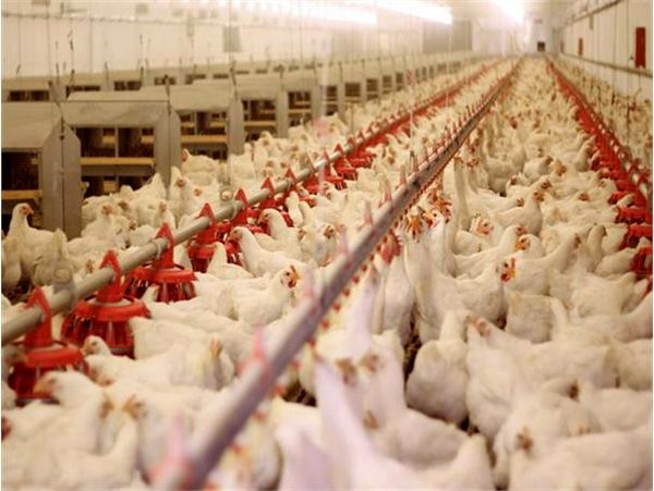 تولید 10 هزار تنی گوشت مرغ در قائم شهر/ارزش 176 میلیاردی