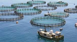 تولید 700 تن ماهی در دریا