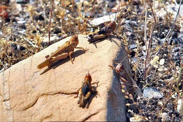 مبارزه با ملخ ها در ۵۷۰ هکتار از اراضی شهرستان ری
