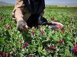 برداشت ۳۳۰ تن گیاهان دارویی در ابرکوه