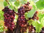 عمده محصولات کشاورزی و دامی خراسان شمالی پاک و سالم است