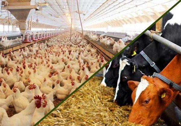 تاثیر افزایش 140 درصدی قیمت سبوس بر تولید شیرخام و گوشت