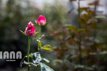 گلخانه گل رز