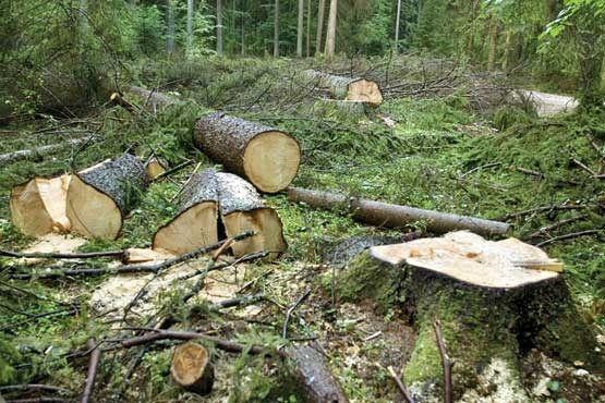 بهره برداری چوبی از جنگلهای شمال خط قرمز سازمان جنگلها است