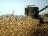 برداشت گندم در زرین دشت فارس