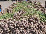 برداشت بالغ بر 50هزار تن سیر از مزارع شهرستان طارم