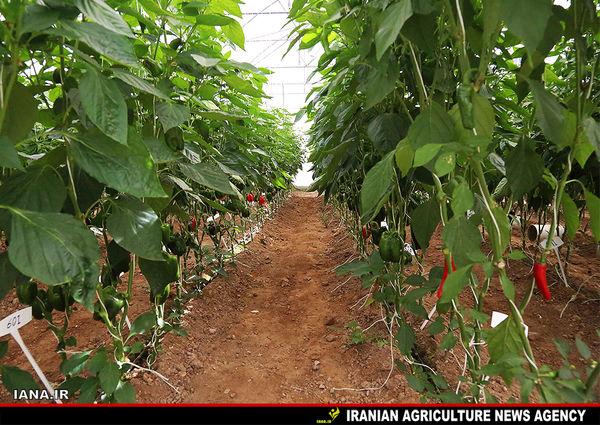 صرفهجویی 140میلیون متر مکعب آب در گلخانه 1000هکتاری مغان