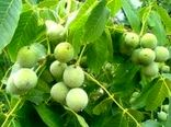 برداشت بیش از 4000 کیلوگرم  گردو در هر هکتار از باغات بردسیر