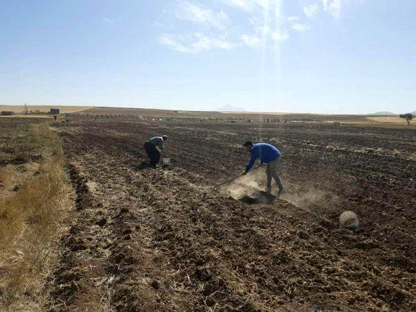 کشت دو هکتار گیاه داروئی موسیر در شهرستان دهگلان