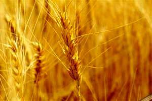 خرید تضمینی 4 میلیون و 352 هزار تن گندم از کشاورزان