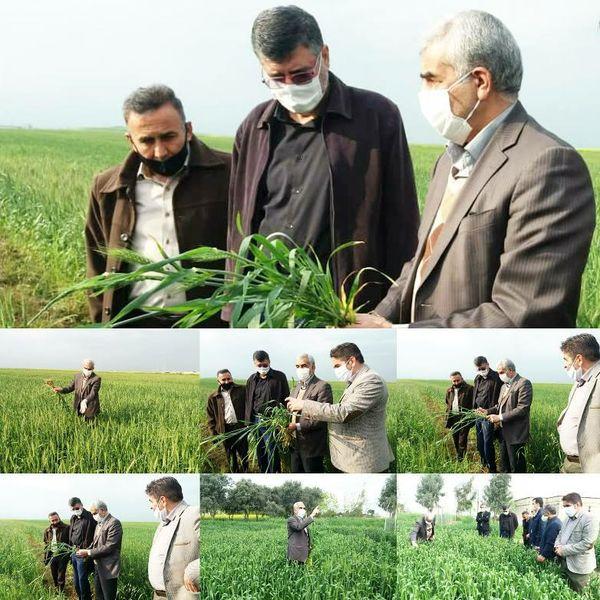 بازدید مجری طرح گندم کشور از مزارع گندم استان گلستان