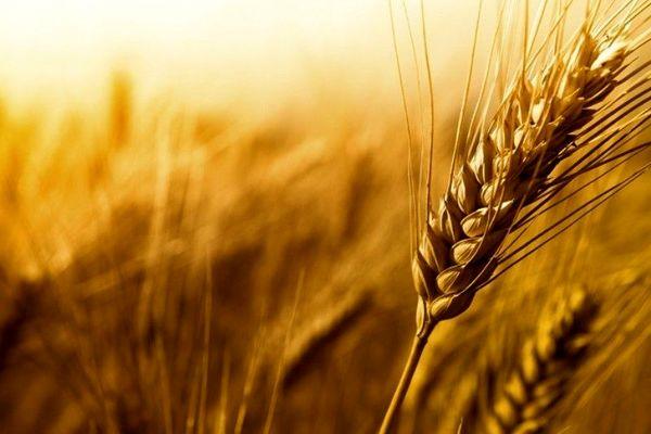 استفاده از ارقام اصلاح شده گندم برای مقابله با بیماریها