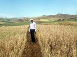 بررسی عملکرد ارقام مختلف گندم دیم در قالب طرح پی وی اس در شهرستان هوراند