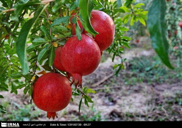 برداشت 34 هزار تن انار از باغات استان کرمان