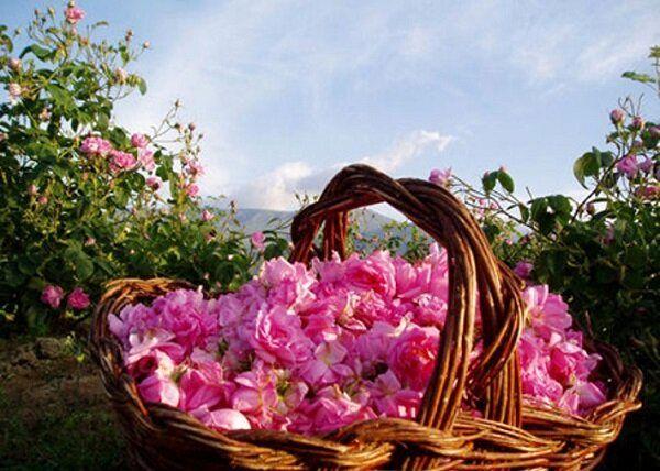 خرید توافقی ۷۰ تن گل محمدی از کشاورزان آران و بیدگل