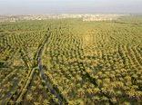 اختصاص 500 میلیارد ریال اعتبار برای پروژه نوسازی نخیلات استان بوشهر