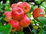 تولید 200 هزار  تن سیب تابستانه در آذربایجان غربی